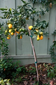 How is it possible that my pencil-thin Meyer lemon tree produced approximately 8000 lemons this year? And how is it still upright?!